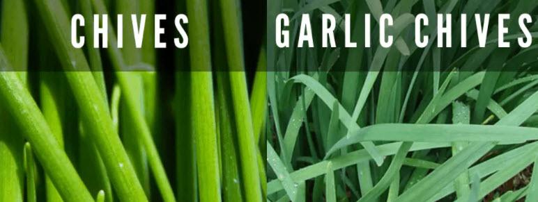 chives vs garlic chives